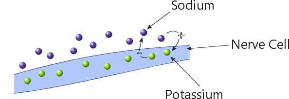 Sodium and potassium in a nerve cell